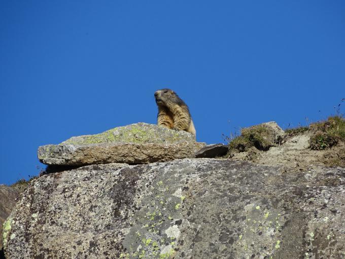 Où et quand voir des marmottes en montagne ?